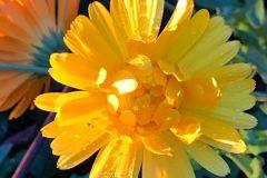 Blume-5