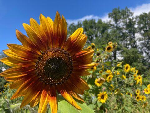 Die Blume des Monats: Sonnenblume